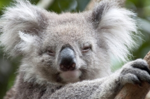 A sleeping Koala On A Tree