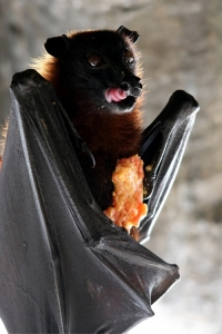 Fruit Bat Eating