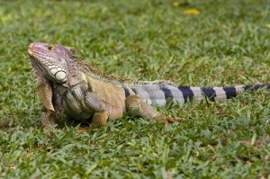 Big Iguana on the Grass