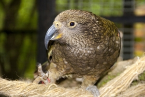 A Close Up View of a Kea Parrot