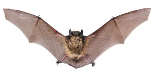 A Bat Flying