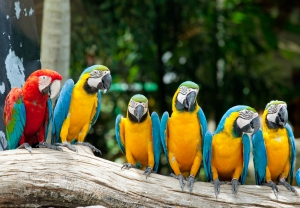 Colorful Group of Macaws