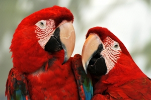 Closer View of Two Red Colored Parrots