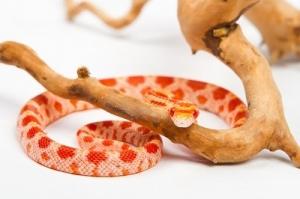 An Orange Snake