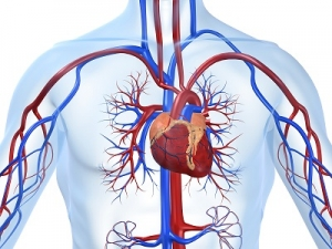 The Anatomical Illustration of the Cardio-vascular System Showing the Heart