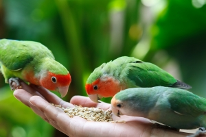 The Lovebird Agapornis