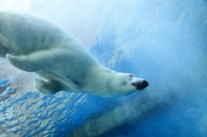 Underwater Photo of a Swimming Polar Bear