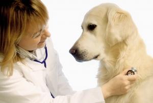 Veterinarian Checking A Dog.
